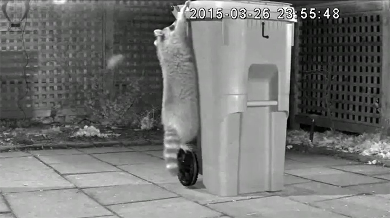 A raccoon is seen in this surveillance video trying to break into one of Toronto's new green bins. (City of Toronto / YouTube)
