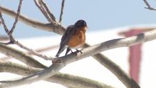 Starving robins in Nova Scotia