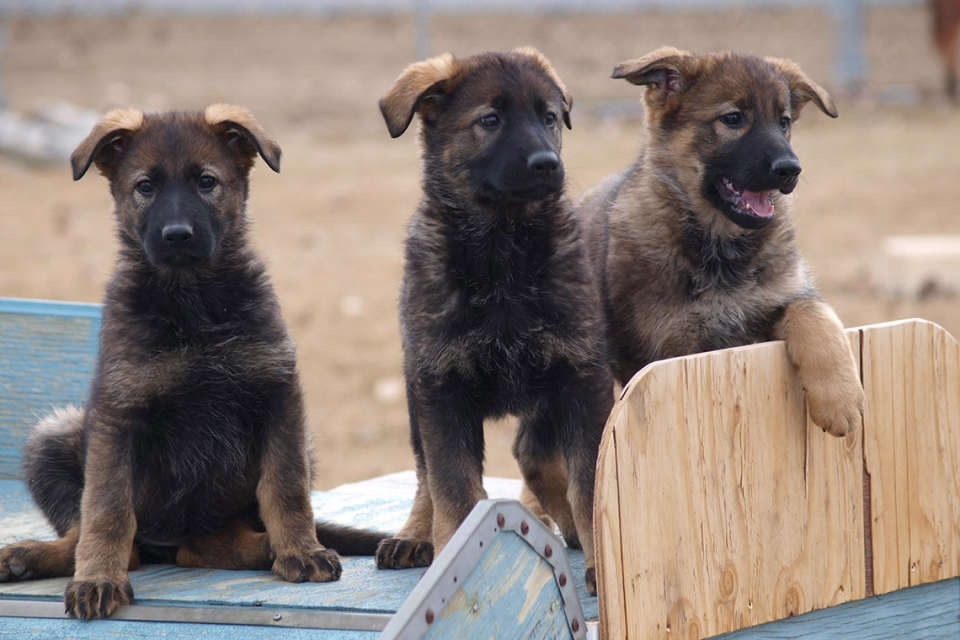 RCMP police dog puppies are shown in a handout photo. Thirteen puppies in training to be police dogs now have names. There were more than 21,000 entries from across Canada to this year's RCMP Name the Puppy contest. (THE CANADIAN PRESS / HO-RCMP)