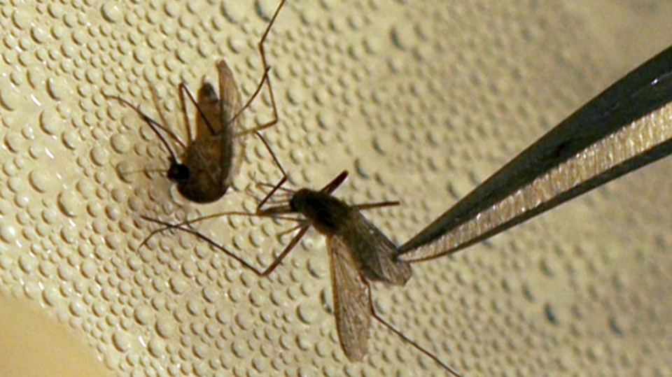 File photo. A mosquito is sorted before testing for West Nile Virus.