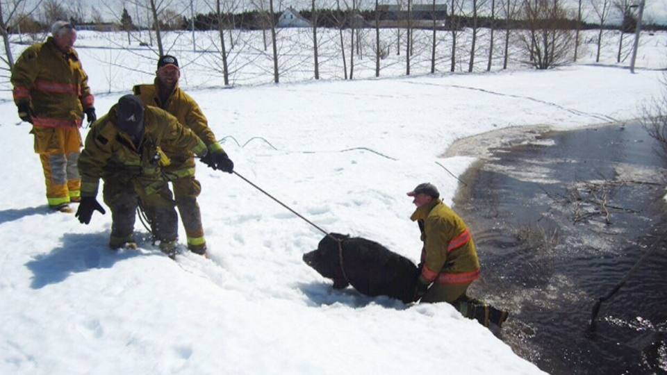 Firefighters rescue a Vietnamese potbellied pig from flooding in Tatamagouche, N.S.
