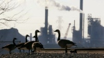 Geese hang out in Hamilton, Ont., on Tuesday, Dec. 10, 2002. (Kevin Frayer/The Canadian Press)