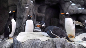 Gentoo penguins settle in to their new pen during opening day of the Penguin Plunge exhibit at the Calgary Zoo in Calgary, Alberta on Friday, Feb. 17, 2012. Two penguins have died at the Calgary Zoo, one from a fungal infection and the other from malaria.THE CANADIAN PRESS/Larry MacDougal