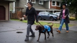 Maya Kaler, left, 13, who has autism, walks her service dog Pepe, a female chocolate labrador retriever, with her mom Nicole Kaler near their home in Surrey, B.C., on Saturday December 20, 2014. THE CANADIAN PRESS/Darryl Dyck