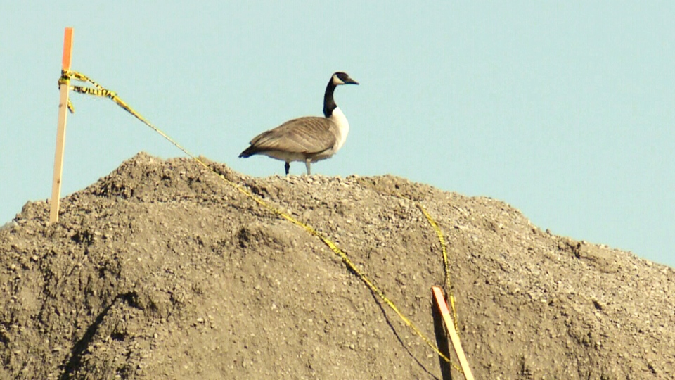 A Canada goose is shown on top of a gravel mound at a Lethbridge, Alta. construction site.