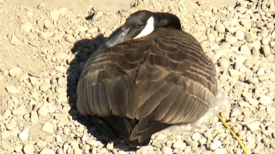 A Canada goose is shown in its nest on top of a gravel pile in Lethbridge, Alta.