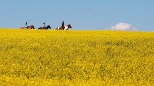 People ride horses through a canola field near Cremona, Alta., on Tuesday, July 16, 2013. (Jeff McIntosh/The Canadian Press)