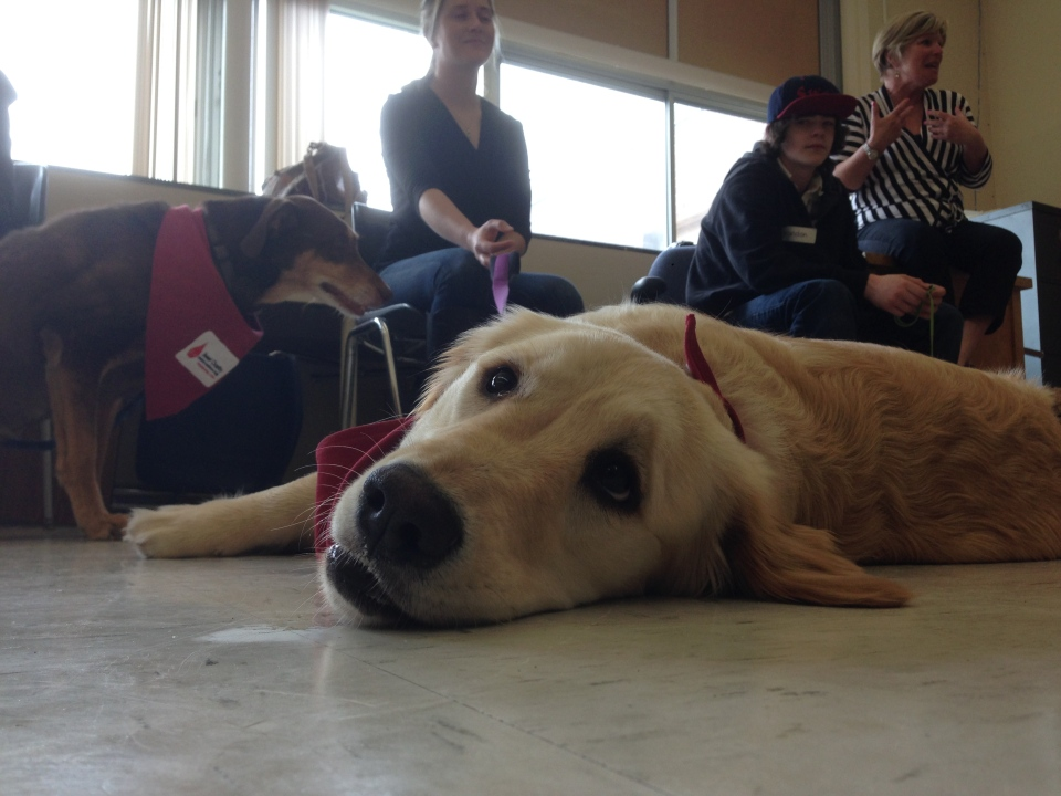 Students at Midland Secondary School in Midland, Ont. learn from therapy dogs as part of a pilot program on Wednesday, April 22, 2015. (KC Colby/ CTV Barrie)