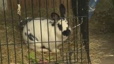 rabbit nanaimo seizure