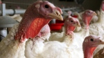 In this 2012 photo provided by Bethany Hahn is a flock of turkeys at a Minnesota poultry farm. (Bethany Hahn / AP Photo)