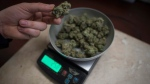 Marijuana is weighed at The Dispensary, a medical marijuana dispensary, in Vancouver, Wednesday, Feb. 5, 2015. (Jonathan Hayward / THE CANADIAN PRESS)