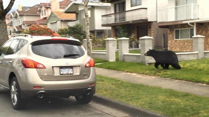 bear dashcam vancouver