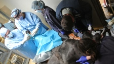 Gorilla gets foot surgery