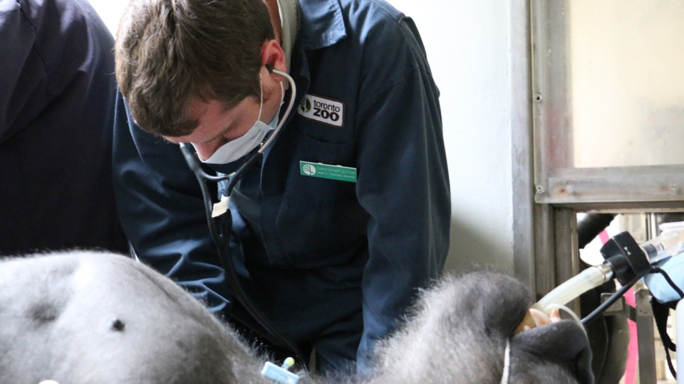 A doctor leans over the gorilla. (Toronto Zoo)