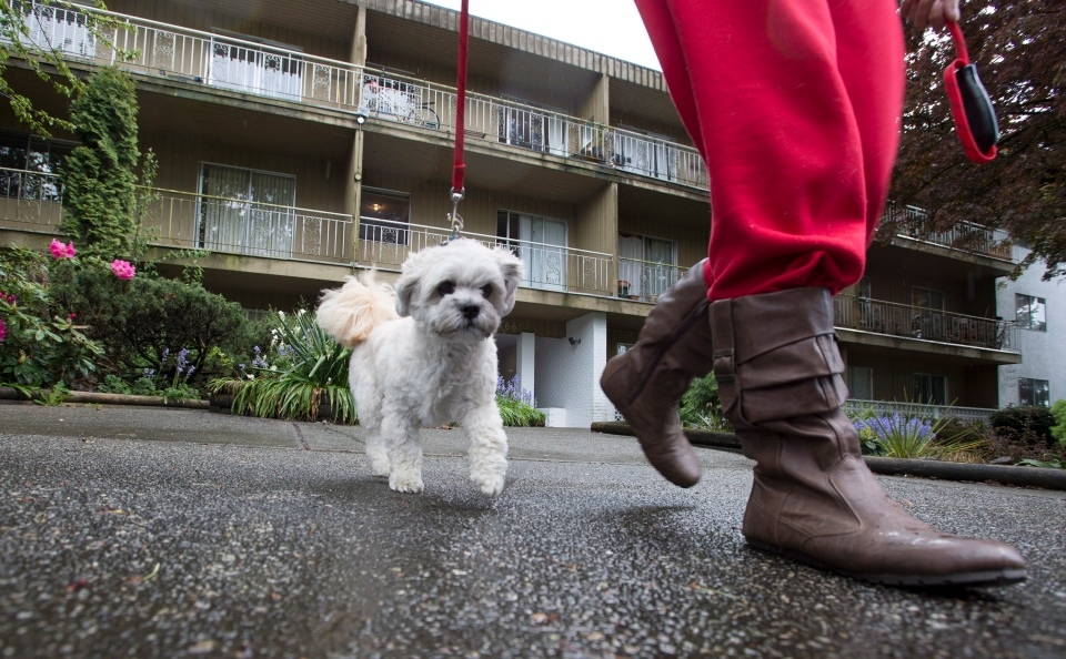Mustache the dog is taken for a walk by his owner Sara Hyslop outside a apartment building in Burnaby, B.C. on May, 5, 2015. (Jonathan Hayward / The Canadian Press)