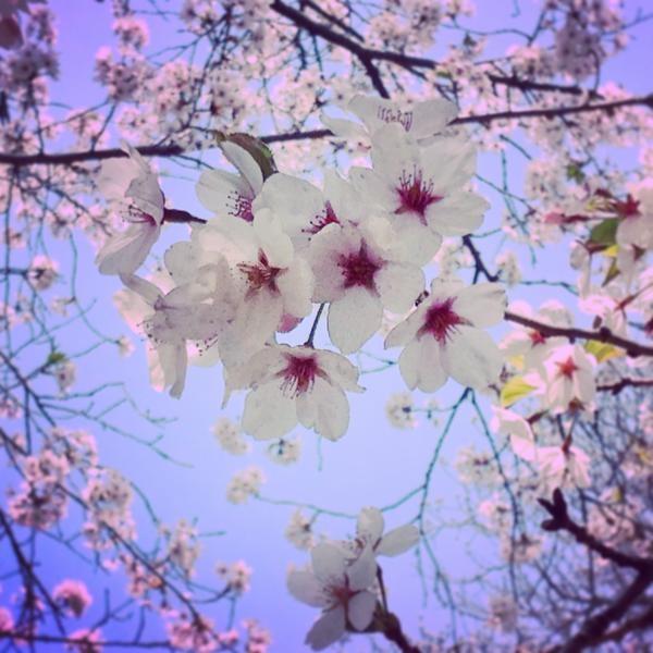 Cherry blossoms in High Park, Toronto taken by Matthew McDonald. (Twitter / @akametju)