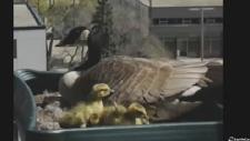 Edmonton mama goose
