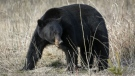 A black bear forages for food in Jasper National Park, Alta. on May 7, 2014. (Jeff McIntosh / THE CANADIAN PRESS)
