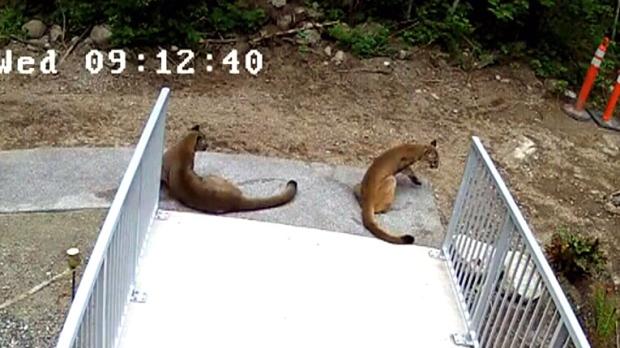 reserve cougar com greater sudbury