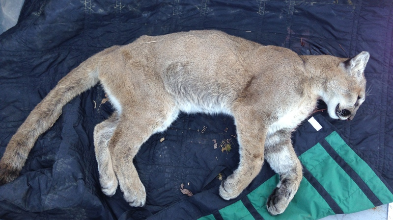 A dead cougar is seen after being killed by a conservation officer in West Vancouver, B.C., on May 14, 2015. (Simon Gravel)
