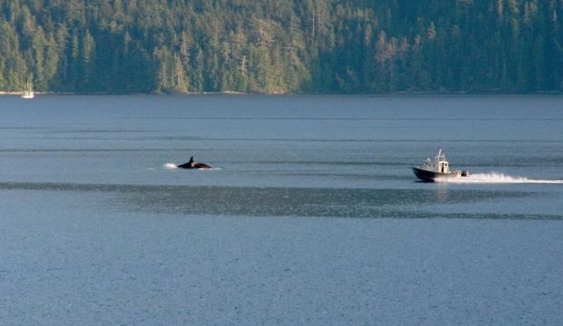 orcas near nanaimo