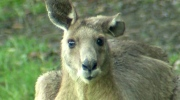 Kangaroo invades Australian suburb