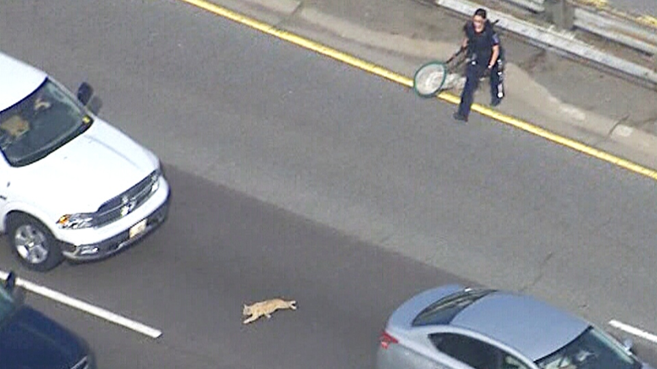 A member of animal services chases after a cat on the Queen Elizabeth Way on Monday, May 25, 2015.