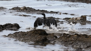 An oil-covered bird flaps its wings at Refugio State Beach, north of Goleta, Calif. on May 21, 2015. An underground pipe, owned by Plains All American Pipeline, spewed oil down a culvert and into the Pacific on May 19 before it was shut off. (AP / Jae C. Hong)