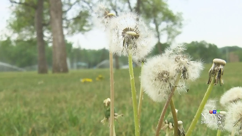 CTV Saskatoon: Allergy season in full swing