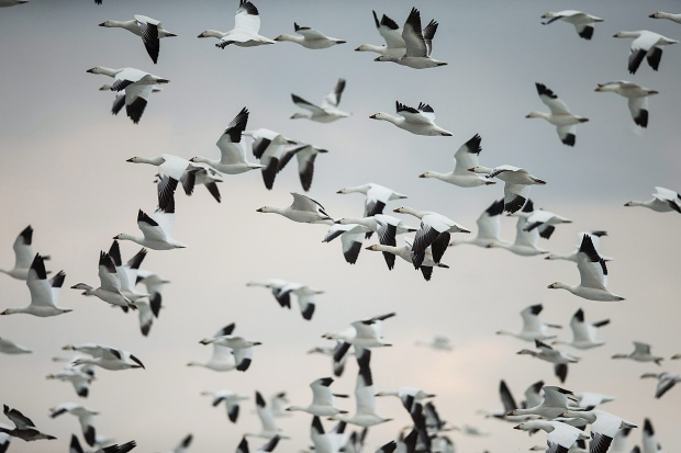 Population of snow geese explodes