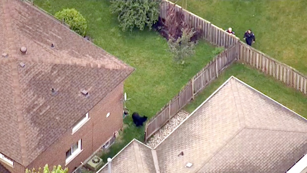 Black bear in backyards north of Toronto