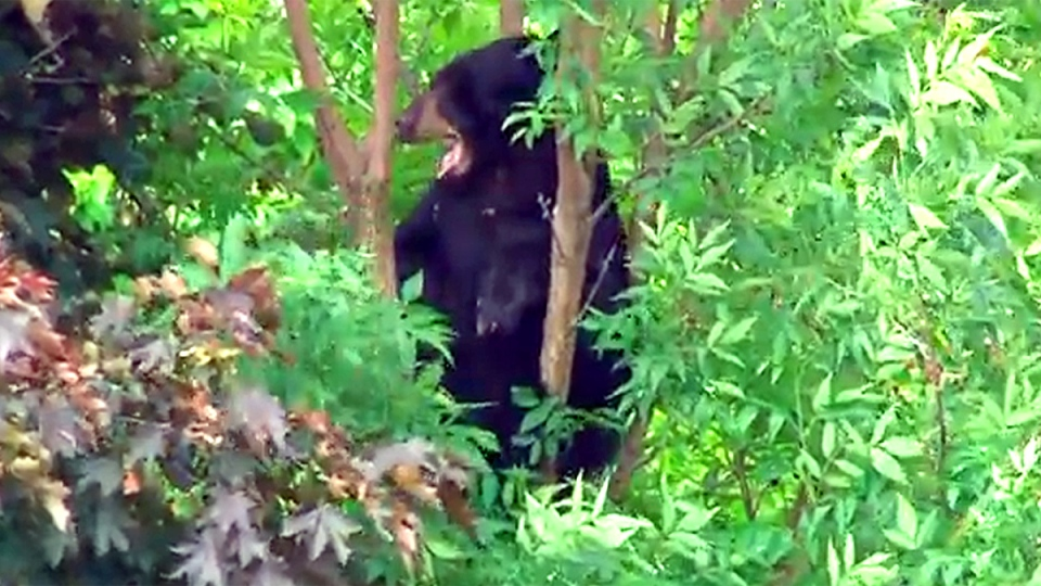 A black bear sits in a tree in Newmarket, Ont. on Monday, June 1, 2015.