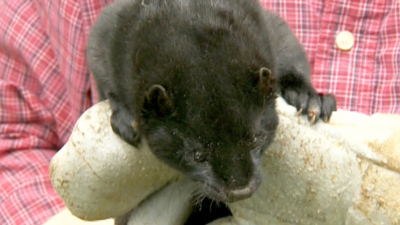 Fur farmers in southwestern Ontario are rattled after more than 8,000 mink were released during two recent break-ins.