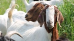 Goats are seen in this file image.