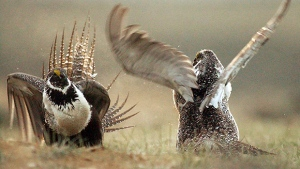 Male sage grouses fight for the attention of a female near Rawlins, Wyo. There's some rare good news for the critically endangered greater sage grouse which has had its highest growth rate in 20 years. (Rawlins Daily Times/Jerret Raffety, File)