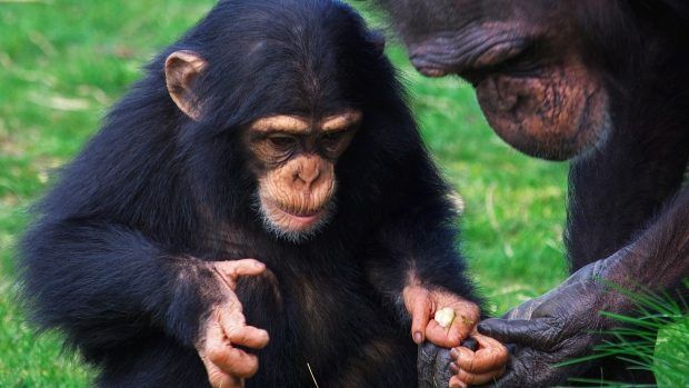Chimpanzee giving food to young chimp.