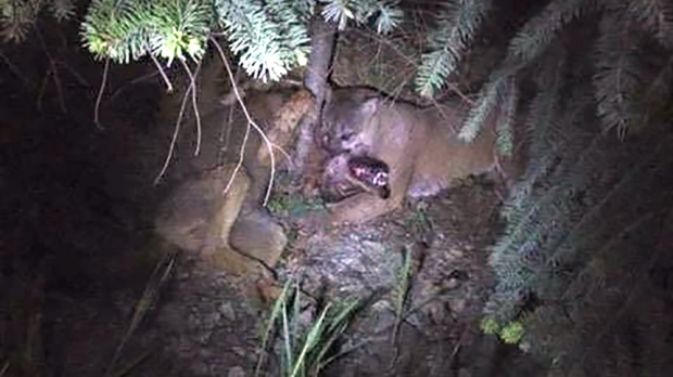 Wolf Vs Cougar Vancouver Island