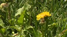 Calgary - dandelion - chemicals