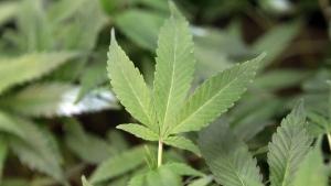 This Feb. 1, 2011 file photo shows medical marijuana clone plants at a medical marijuana dispensary in Oakland, Calif. (Jeff Chiu / AP Photo)