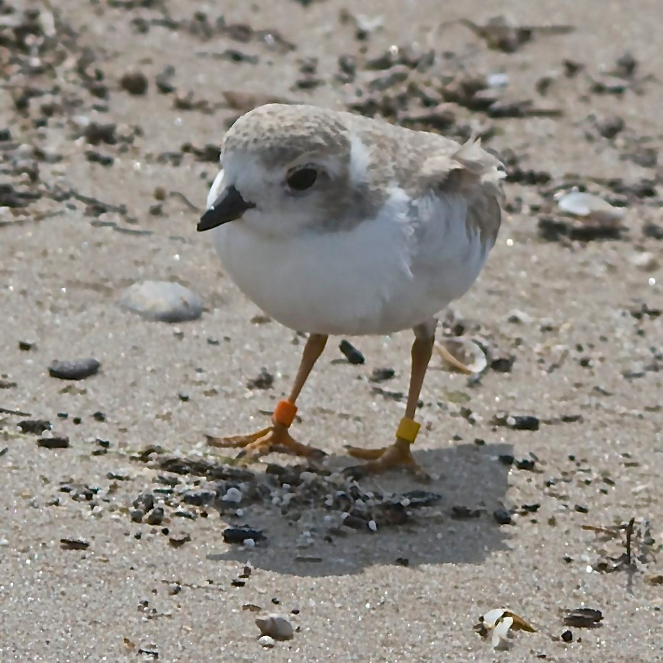 Piping Plover Chick at Wasaga Beach, summer of 2014. Experts recommend staying at least 50 metres from the endangered birds. This was taken using telephoto lens.