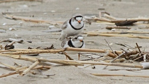 Piping Plovers seen together: The female has a thinner horizontal stripe above the eyes. (Hester Riches/CTV News)