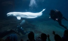 Divers swim with Aurora the beluga whale at the Vancouver Aquarium on Jan. 8, 2015. (THE CANADIAN PRESS/Darryl Dyck)