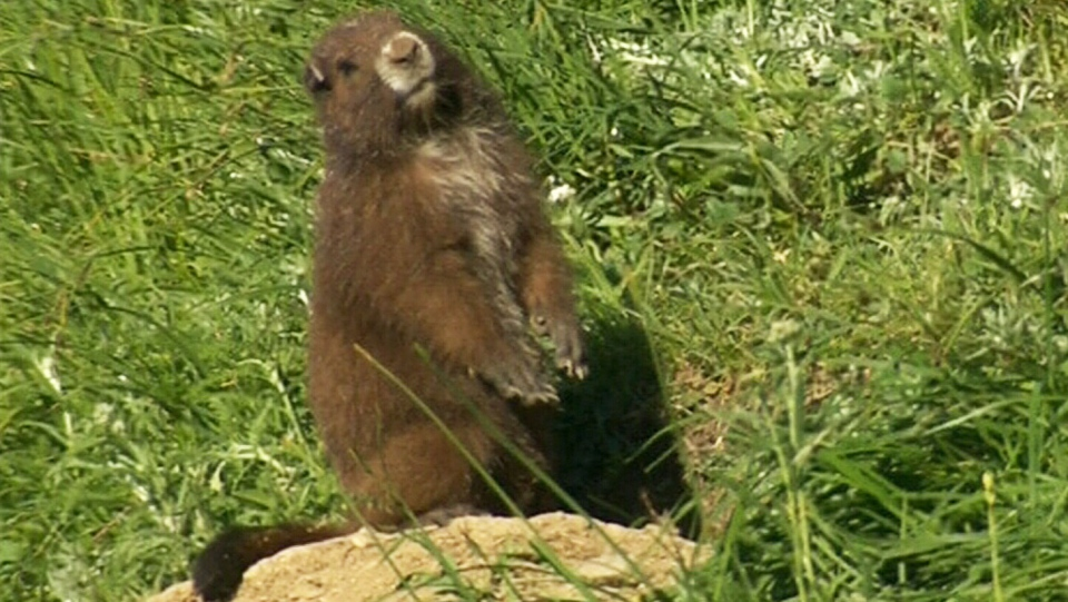 Island marmots bounce back from edge of extinction