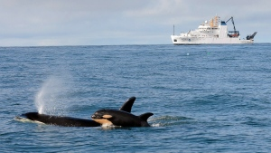 Newborn Orca calf L121 swims with its mother, L94, off Westport, Wash., with the NOAA research ship Bell M. Shimada in the background on Feb. 26, 2015. (Candice Emmons / NOAA Fisheries)