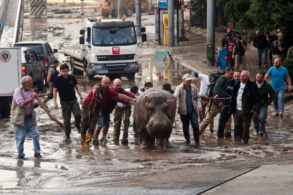 People help a hippopotamus on the loose in Tbilisi, Georgia, Sunday, June 14, 2015. (AP/Tinatin Kiguradze)