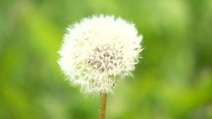 CTV Winnipeg: Weeds sprouting across the city