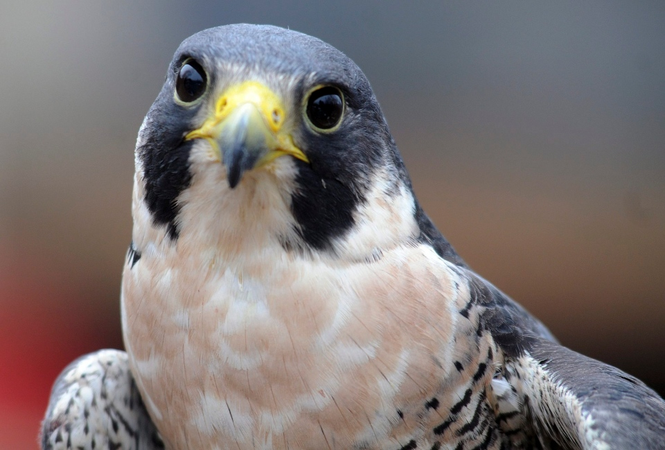 Peregrine Falcon Populations On The Road To Recovery But