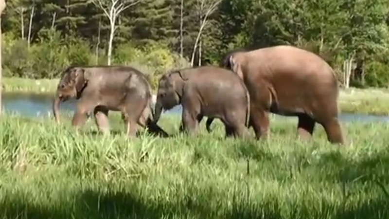 Ontario's African Lion Safari recently welcomed three new baby elephants to its family. (TheSafari1969/YouTube)