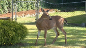 A deer is seen in a Nanaimo neighbourhood in this file photo from 2015. (CTV)