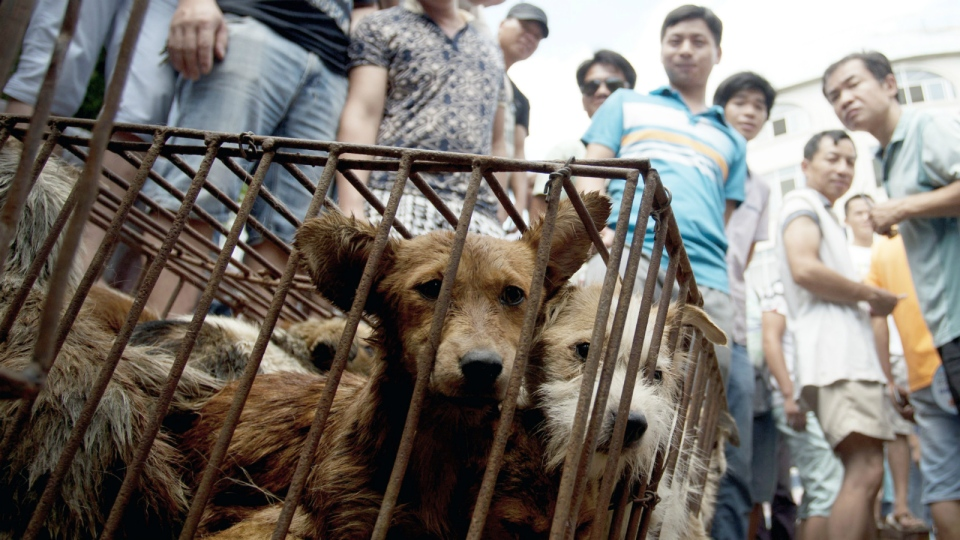 Dogs in cages are sold by vendors at a market during a dog meat festival in Yulin in south China's Guangxi Zhuang Autonomous Region on June 21, 2015. (Chinatopix)